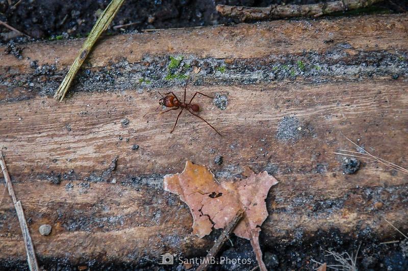Hormiga cortadora en el Sendero del Ceibo