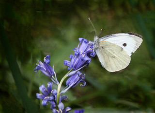 Large White on a Bluebell