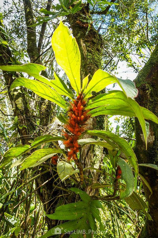 Flores peludas y anaranjadas en el Sendero de las Coladas del Volcán Arenal