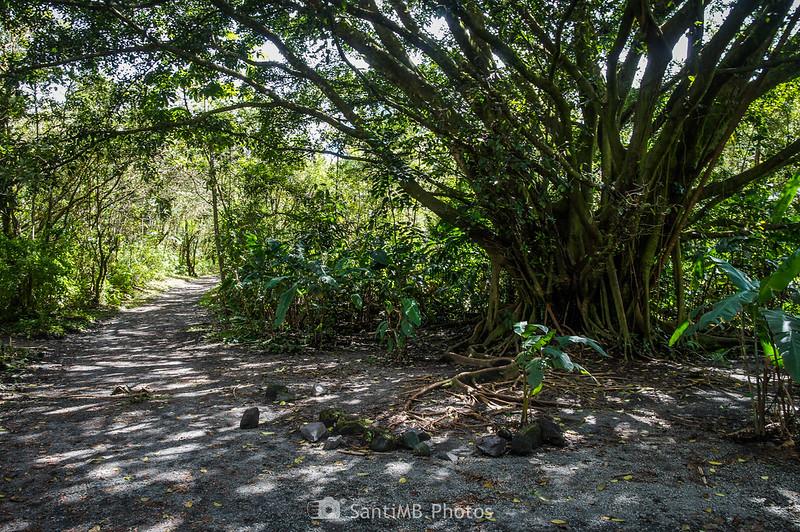 Ficus americana en el Sendero de las Coladas del Volcán Arenal