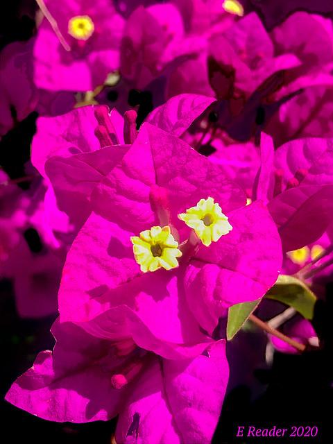 Paperflower (Bougainvillea glabra)