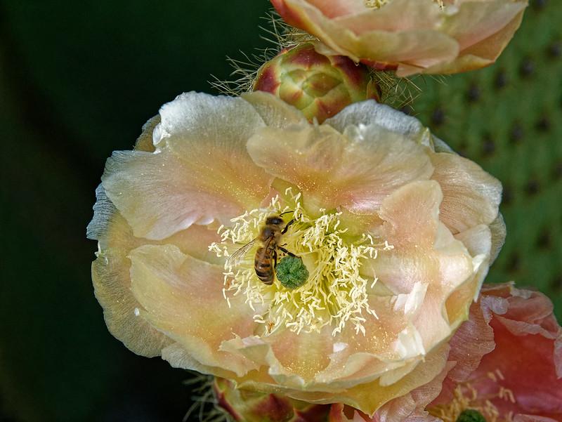 fleur de cactus et sa butineuse 49913191883_a42103c2d5_c
