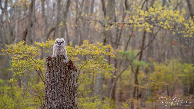 Great Horned Owl - Bubo virginianus   2020 - 16