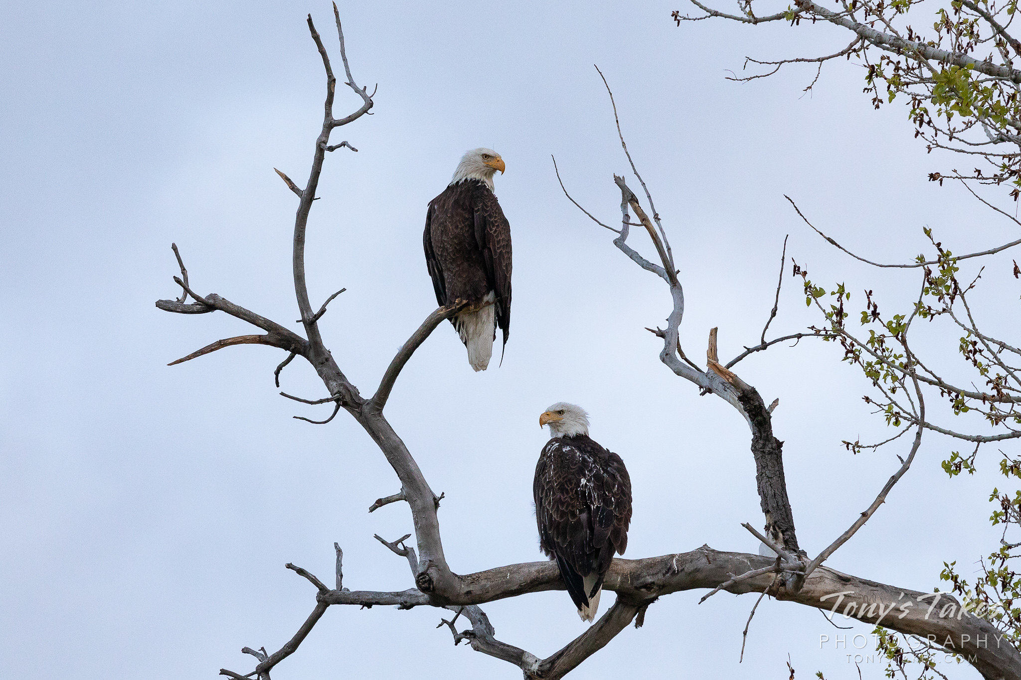 A pair of bald eagles in the pre-dawn light in Weld County, Colorado. (© Tony's Takes)