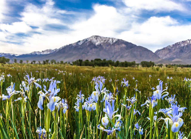 WIld Iris In The Eastern Sierra