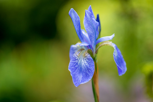 Iris Sibirica | by www.andrewswalks.co.uk