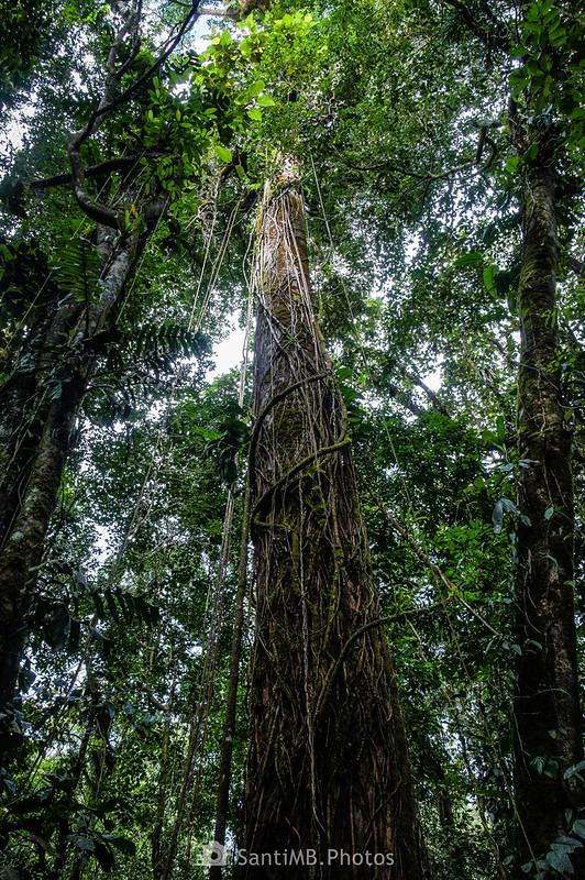 Árbol con lianas en el Sendero del Ceibo