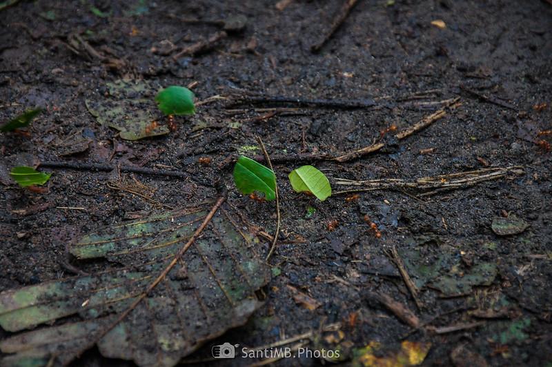 Hormigas cortadoras en el Sendero del Ceibo