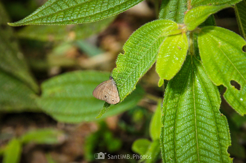 Mariposa sobre hoja de Conostegia en el Sendero de las Coladas del Volcán Arenal