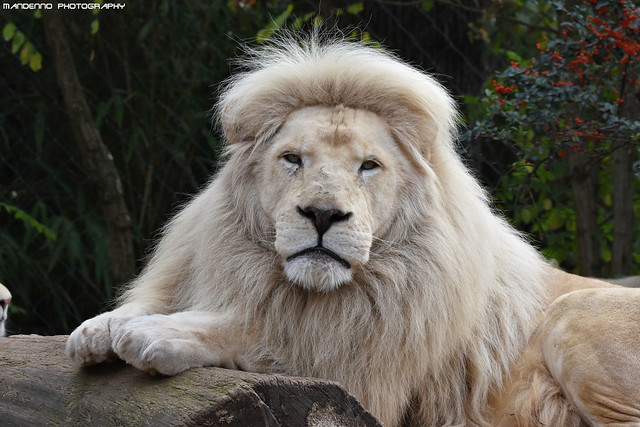 African white lion - Zoo Amneville