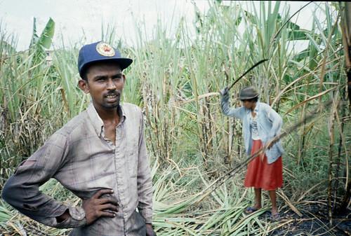 trinidad cane sugar work cutting agriculture plantation xa cutlass