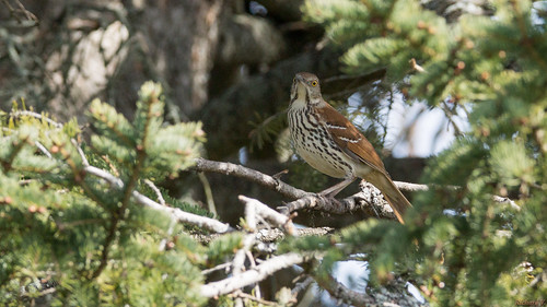 moqueurroux brownthrasher beauce pq canada 6833 moqueur roux brown thrasher dans la nature oiseau bird scène animalerie