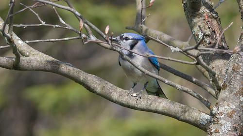 geaibleu bluejay beauce pq canada 6843 geai blue jay bleu dans la nature oiseau bird scène animalerie