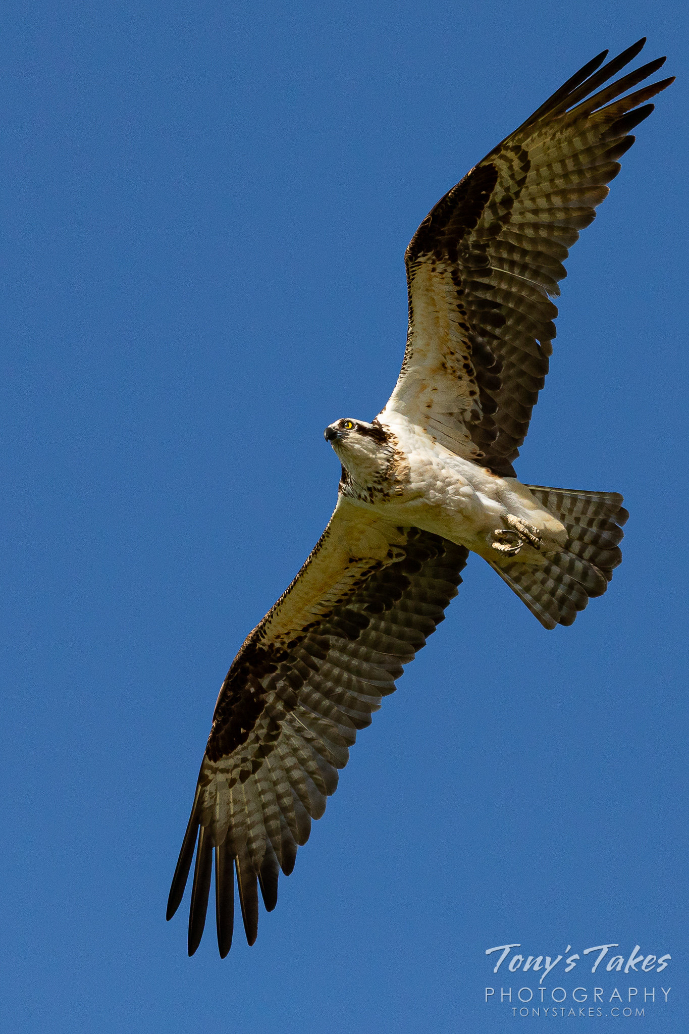 Female #osprey takes a break from the nest, stretches her wings
