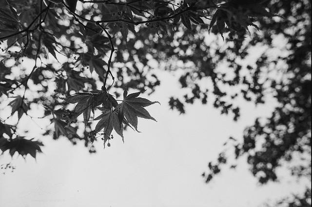 Maple - Film Nikon