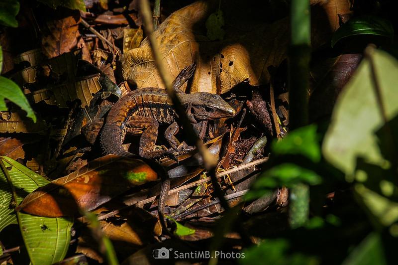 Ameiva leptophrys en el Sendero del Ceibo