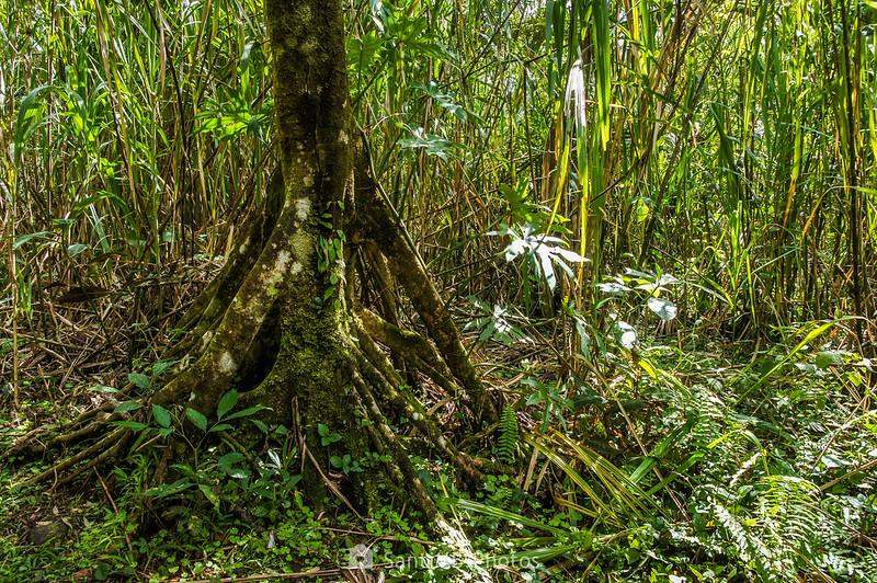 Raíces aéreas de un árbol en el Sendero de las Coladas del Volcán Arenal