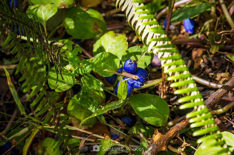 Flores azules en el Sendero de las Coladas del Volcán Arenal