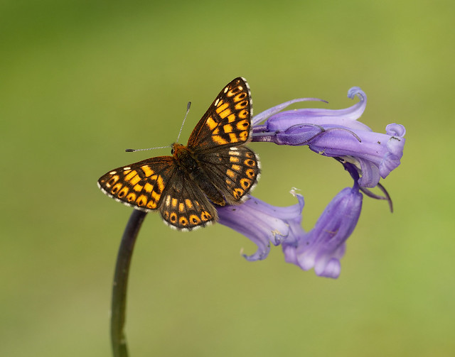 Duke of Burgundy Hamearis lucina