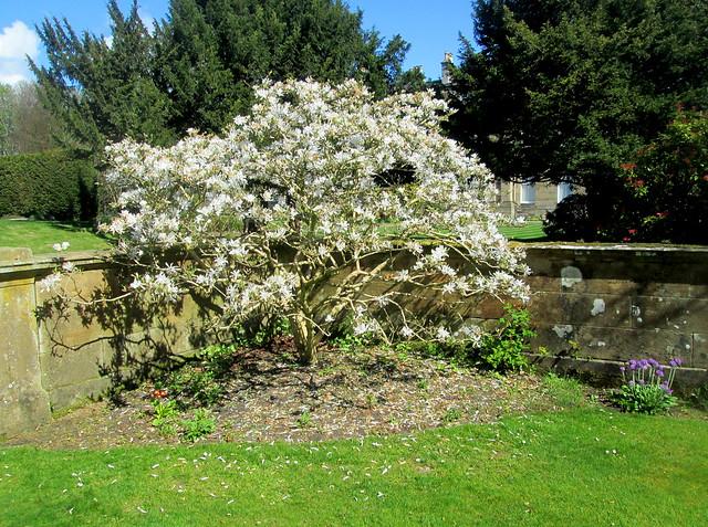 Magnolia (stellata)
