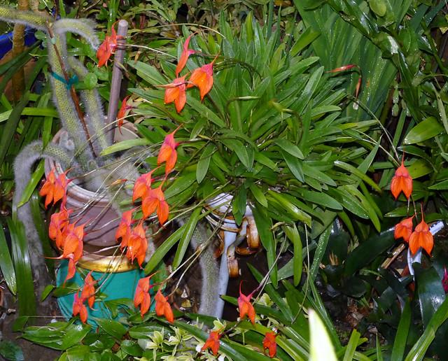 Masdevallia veitchiana 'Sol' species orchid