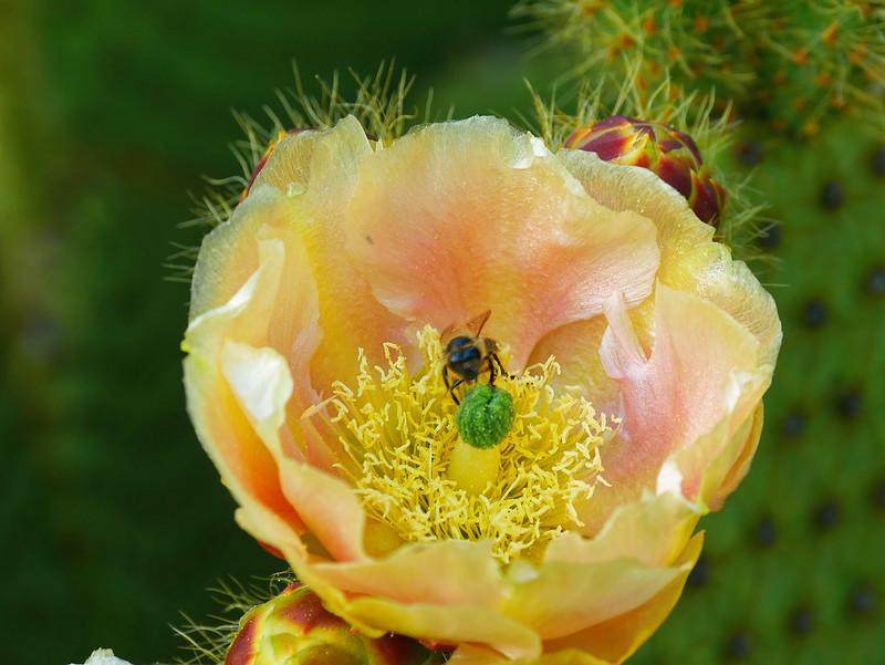 fleur de cactus et sa butineuse 49913999642_6302022dd8_c