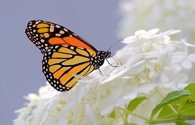 Monarch on Hydrangea