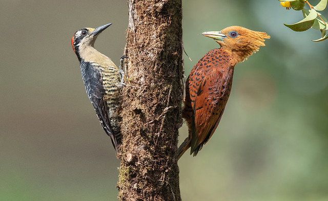 Chesnut colored & Black-cheeked Woodpeckers