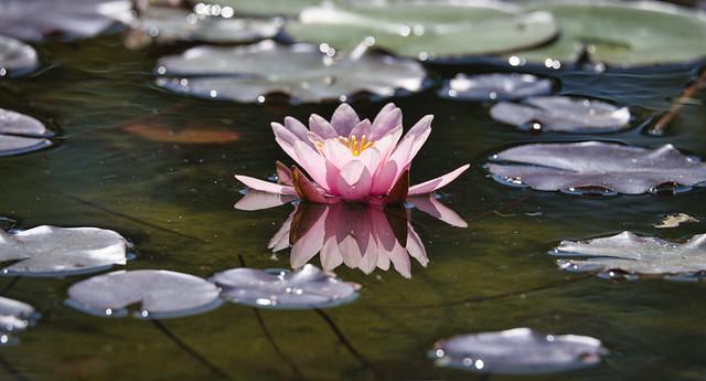 Wasser Blüte