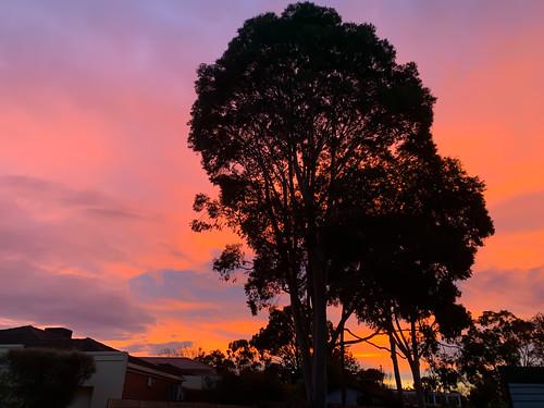 tree gumtree melbourne sunset silhouette redsky clouds dusk australia