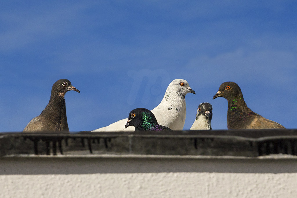 Family -  Rock Pigeon | Columba livia