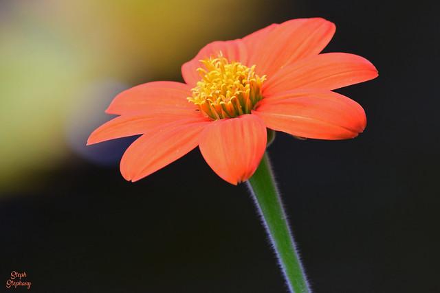 DSC_1034 ~ Mexican Sunflower Mounts Botanical Garden