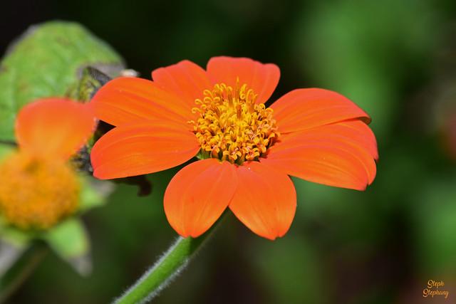 DSC_1029 ~ Mexican Sunflower
