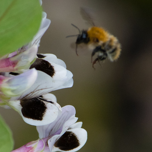 Common carder bee, been flowers