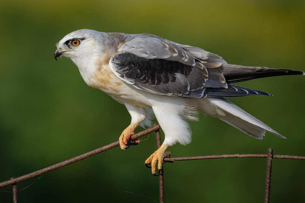 Black-shouldered Kite: Upclose and Personal