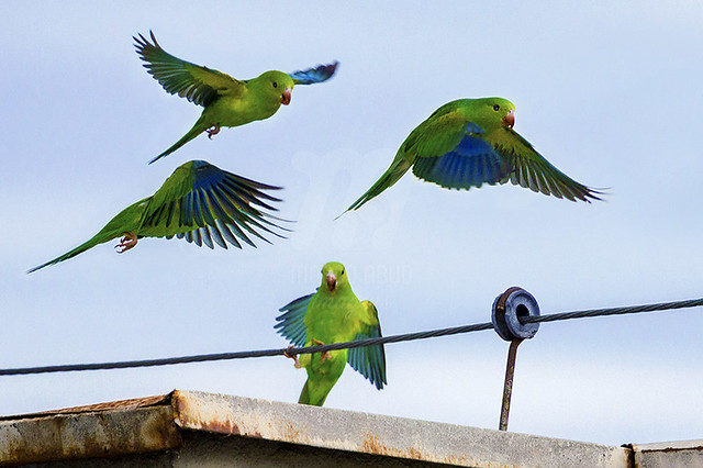 Periquito-Rico | Plain Parakeet | Brotogeris tirica