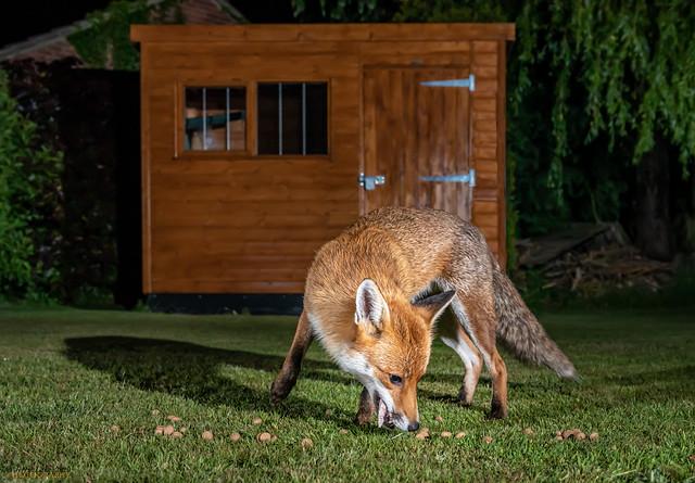 Urban foxes 65