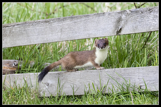 IMG_0002 Stoat (In Explore)