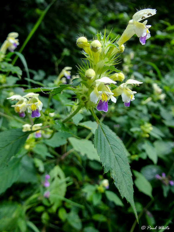 Galeopsis speciosa (Large-flowered hemp-nettle)