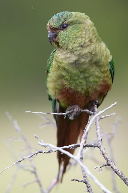 Austral Parakeet - Enicognathus ferrugineus