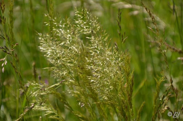 les herbes folles...ment secouées dans le vent