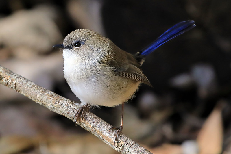 Superb fairywren, non-breeding male