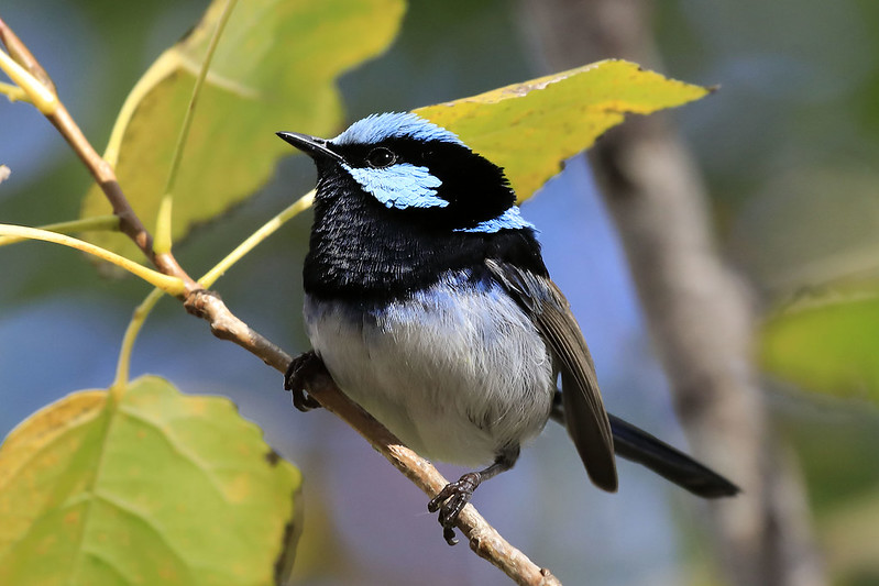 Superb fairywren, breeding male
