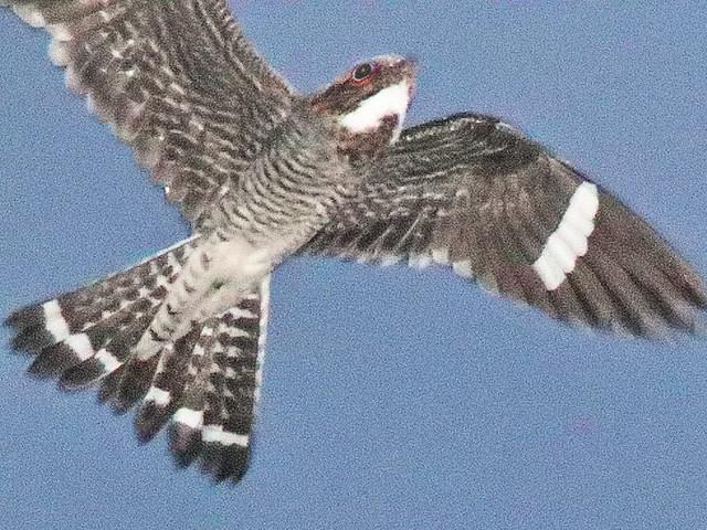 Common Nighthawk 03-20200520