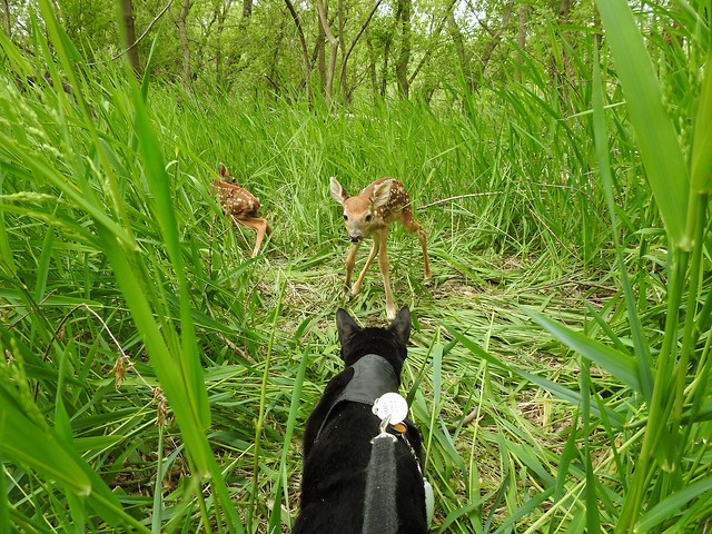 Discovery in the Tall Grasses - Two Fawns