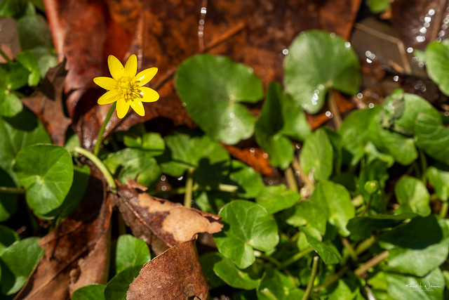 Ficaria verna commonly known as lesser celandine or pilewort is an invasive species from Asia and West Africa