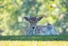 Betchworth deer