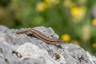 Lézard des Murailles - Common Wall Lizard - Podarcis muralis | by arnaud.badiane
