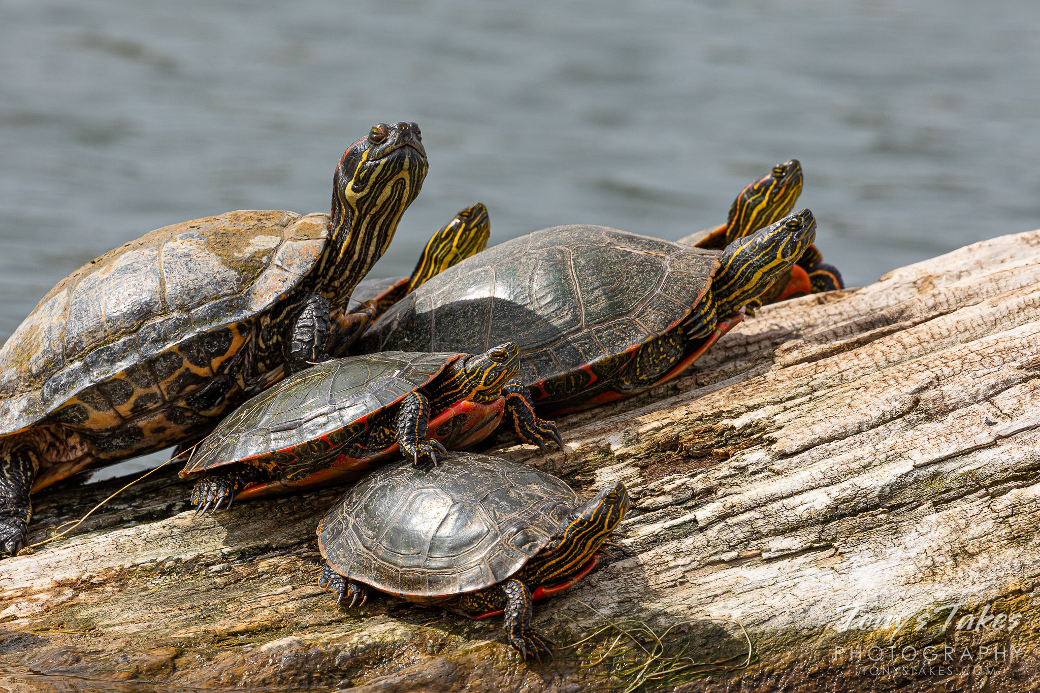 A red eared slider hangs out with painted turtles. (© Tony's Takes)