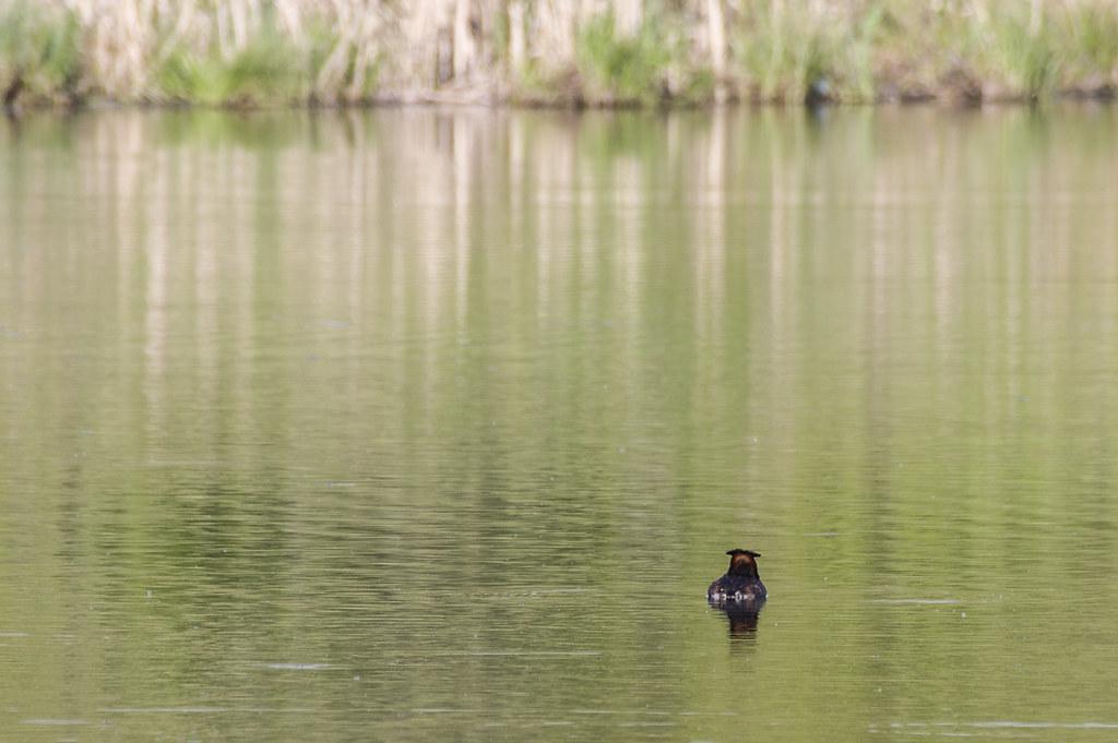 Чомга на Суховском озере.